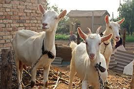 Teathered goats