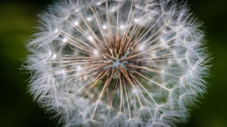 Negative-space-summer-dandelion-macro