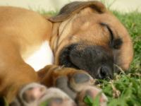 Cute sleepy puppy